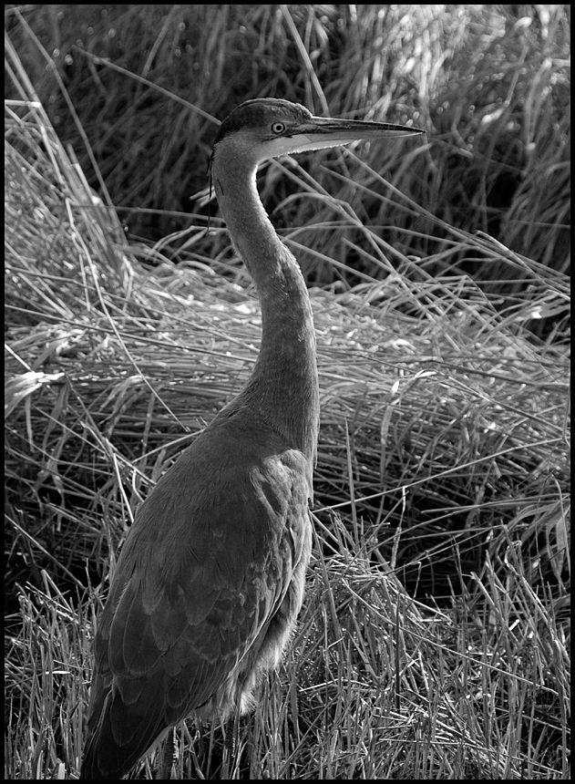 A heron walking beside the trail.