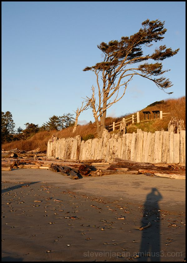 A wind swept tree at Kalaloch Beach.