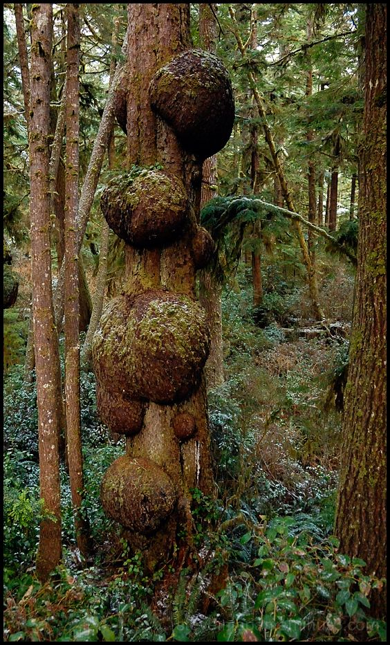 A tree with burls on a trail near Kalaloch Lodge.