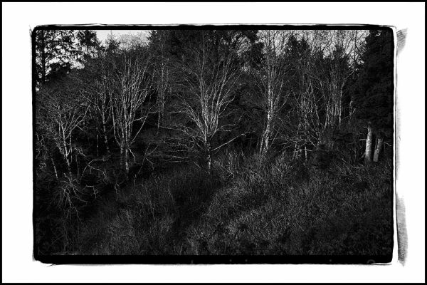 Ghost trees at Kalaloch Creek.