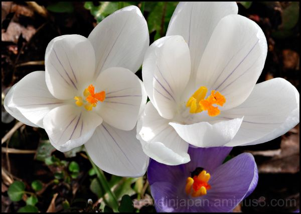 Crocus twins in white.