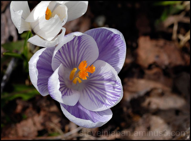 A zebra striped crocus, sort of.