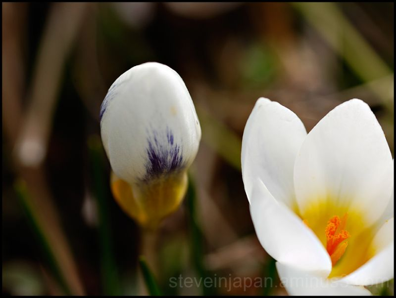 A crocus bud waiting to open.