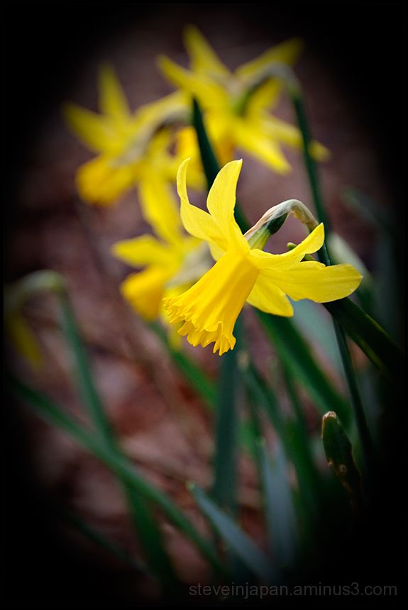 Daffodils caught in the wind and rain of a Spring