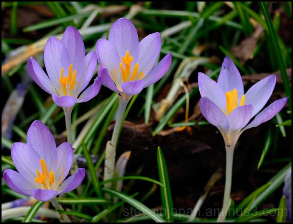 A crocus choir.