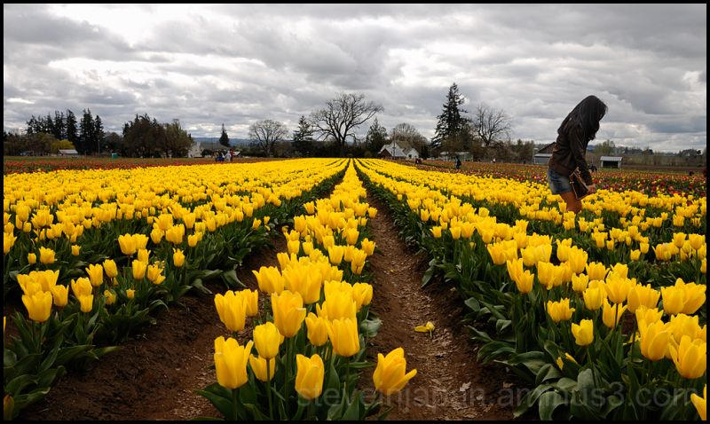 A field of yellow tulips.