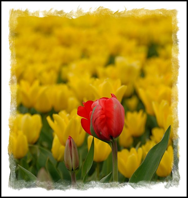 Red and yellow tulips in close proximity.