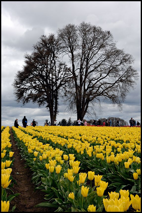 The Wooden Shoe Tulip Festival.