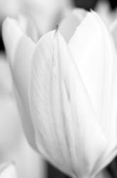 A white tulip.