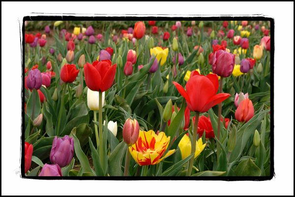 Multicolored tulips in a field.