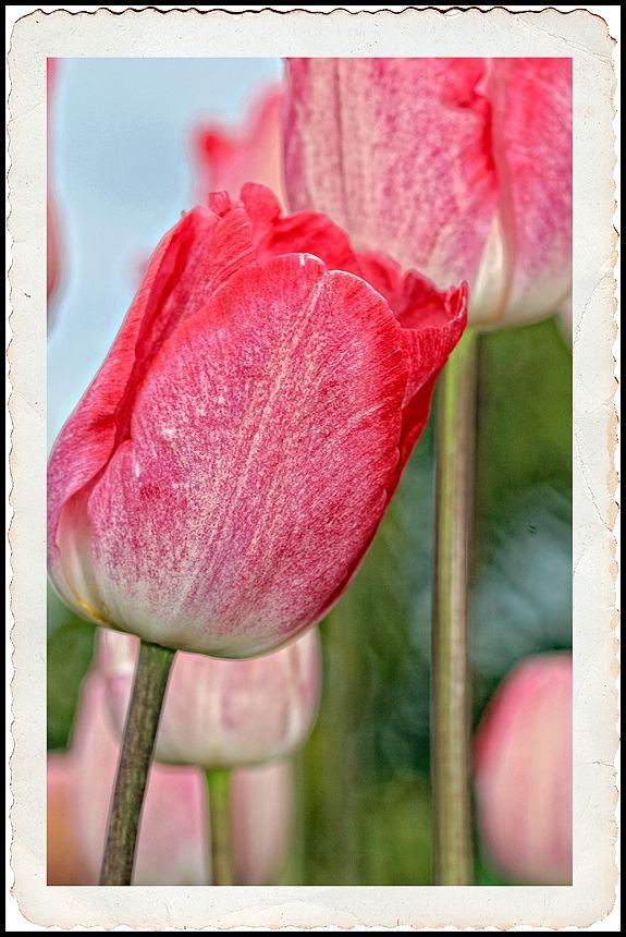 Stylized pink tulips.