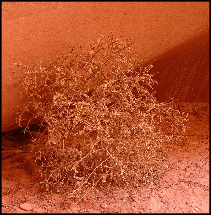 A dry weed in Antelope Canyon, AZ.