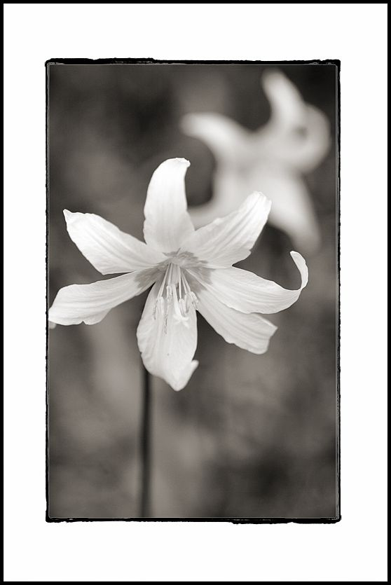 An Avalanche Lily at Berkeley Park.