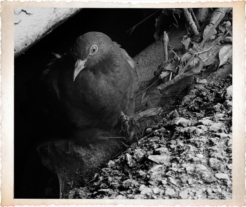 A pigeon in a storm drain in Winterset, IA.