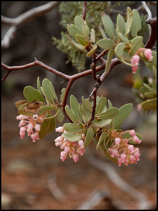 An Arizona Madrone on the Devil