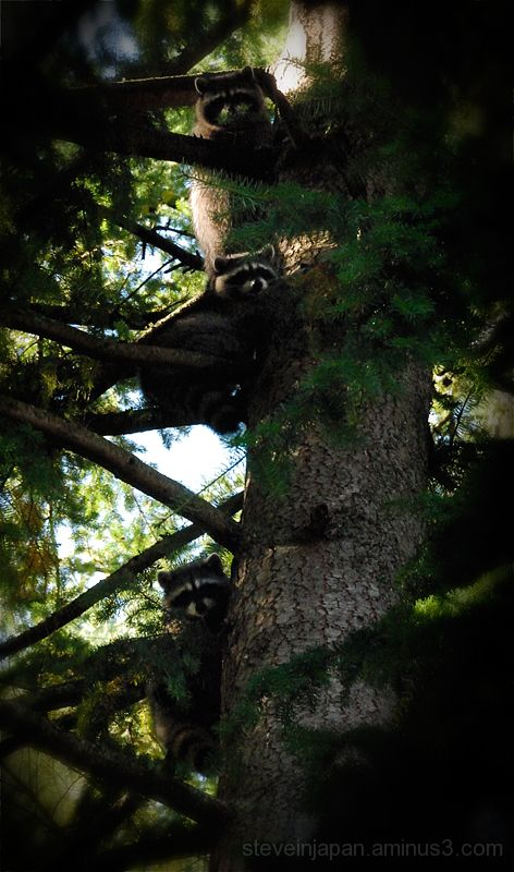 Backyard bandits up a tree.