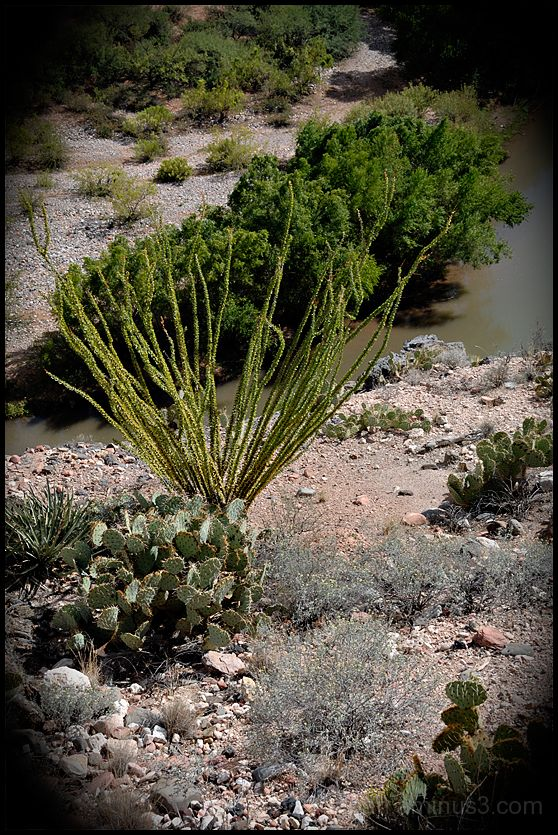 Desert plants in the Verde Canyon.