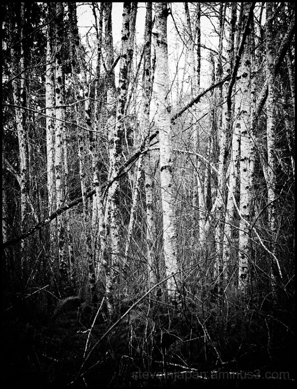 A grove of young alder by Preachers Slough.