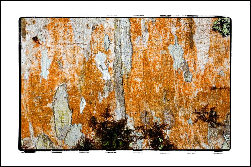 An Alder bark abstract by Preachers Slough.