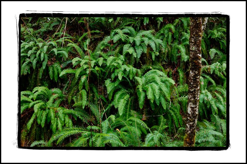 Sword fern along the trail by Blue Slough.