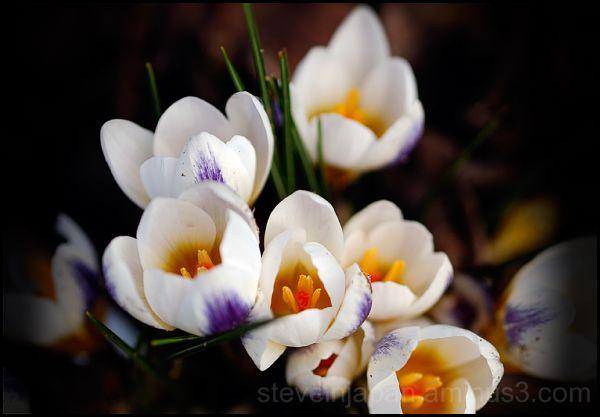 Crocuses blooming in February.