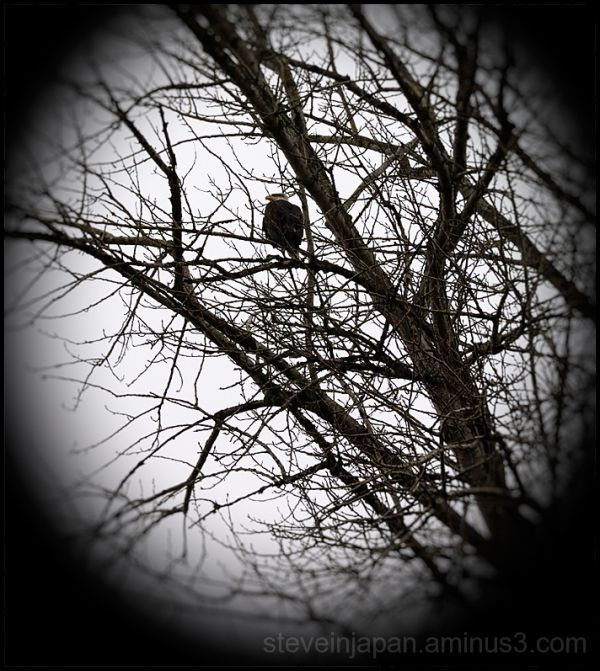 An eagle in a tree at the Nisqually Refuge.