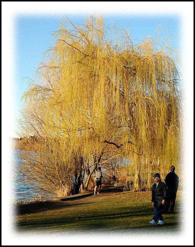 A willow with leaves in February!