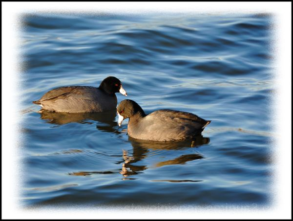 Coots in love at Green Lake.