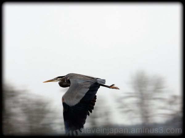 A heron beats a hasty retreat at Nisqually.