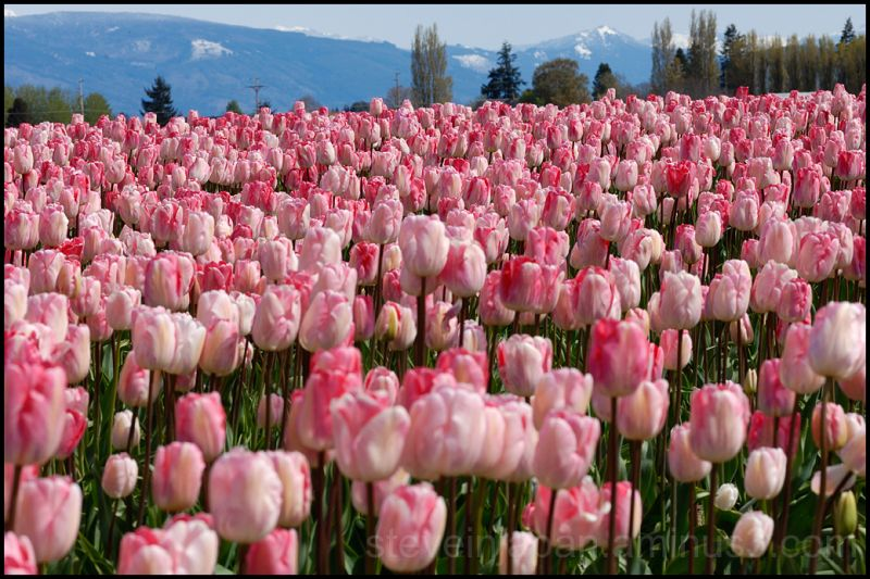 Pink tulips in Skagit Valley, WA, USA.