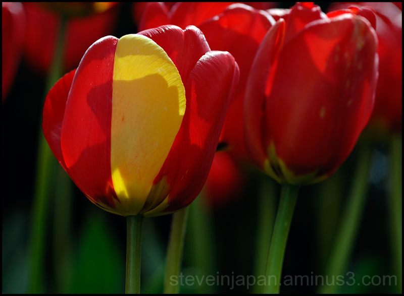 Red tulips in Skagit Valley, WA, USA.