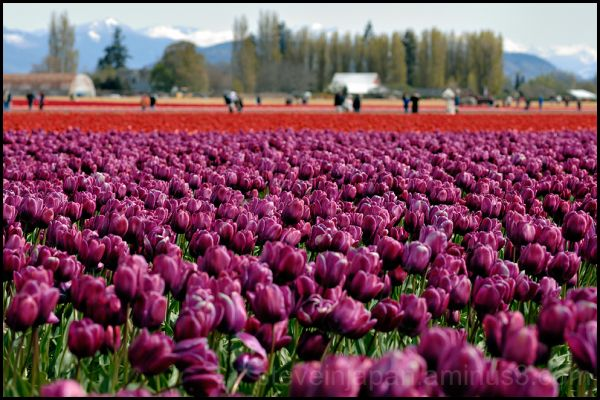 Purple & red tulips in Skagit Valley, WA, USA.