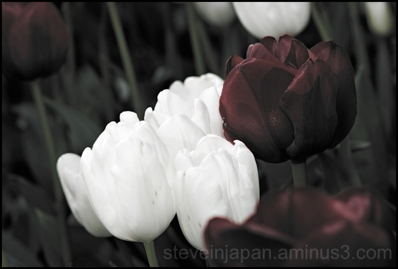 White & red tulips in Skagit Valley, WA, USA.