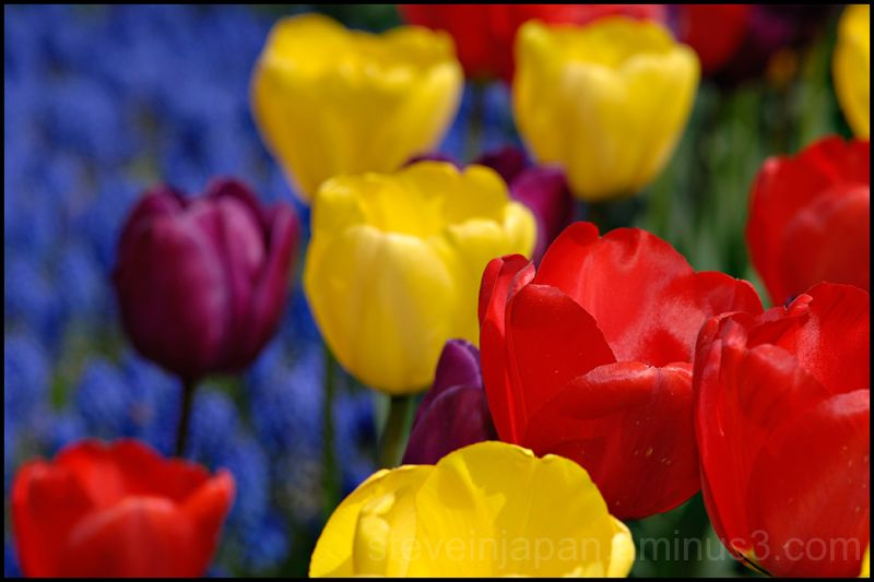 Colorful tulips in Skagit Valley, WA, USA.