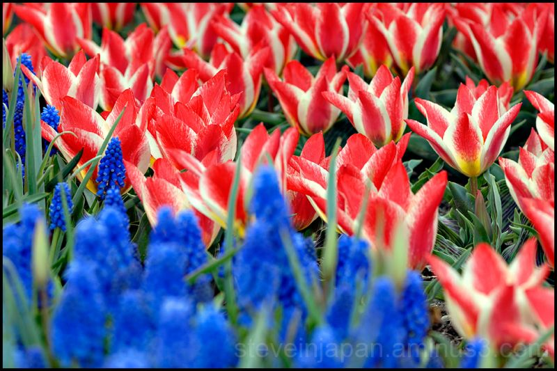 Red, white & blue flowers in Skagit Valley.