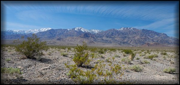 Creosote bush in Death Valley.