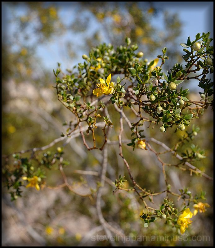 Creosote bush in bloom in Death Valley.