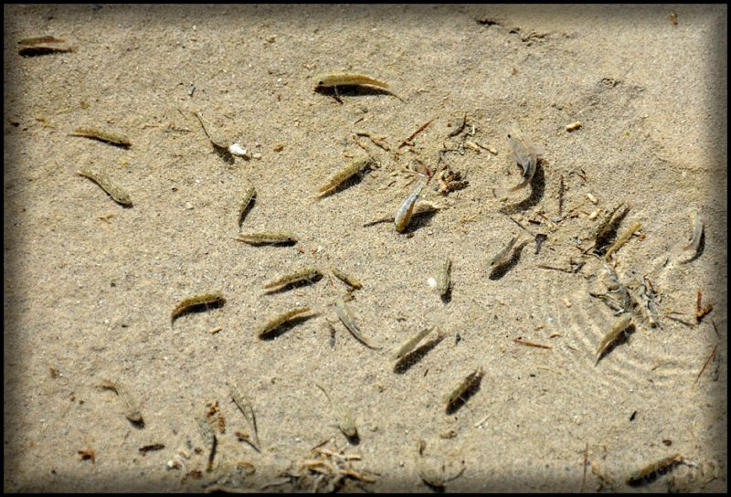 Pupfish that live in Salt Creek in Death Valley.