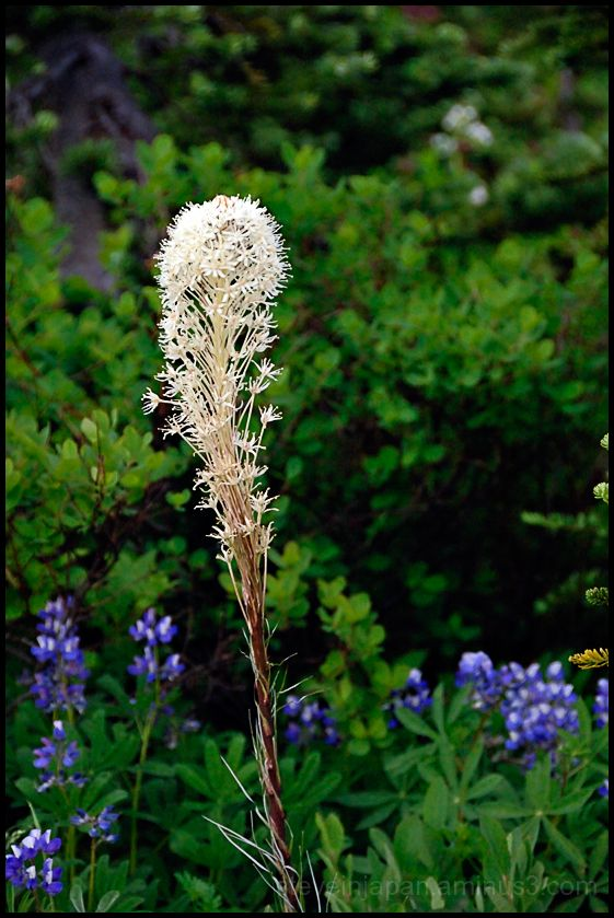 Bear grass in bloom at Mt. Rainier.
