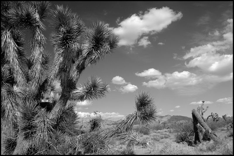 Joshua trees along Gold Butte Road in Nevada.
