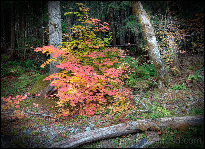 A vine maple in showy colors.