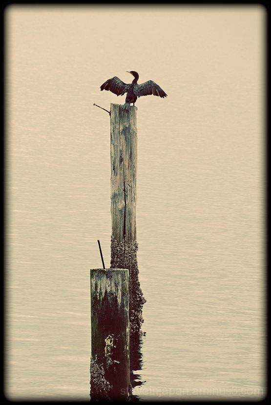 A Cormorant drying its wings at Alki.