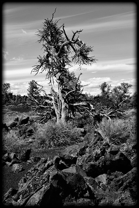 A dead pine tree at Craters of the Moon NM.