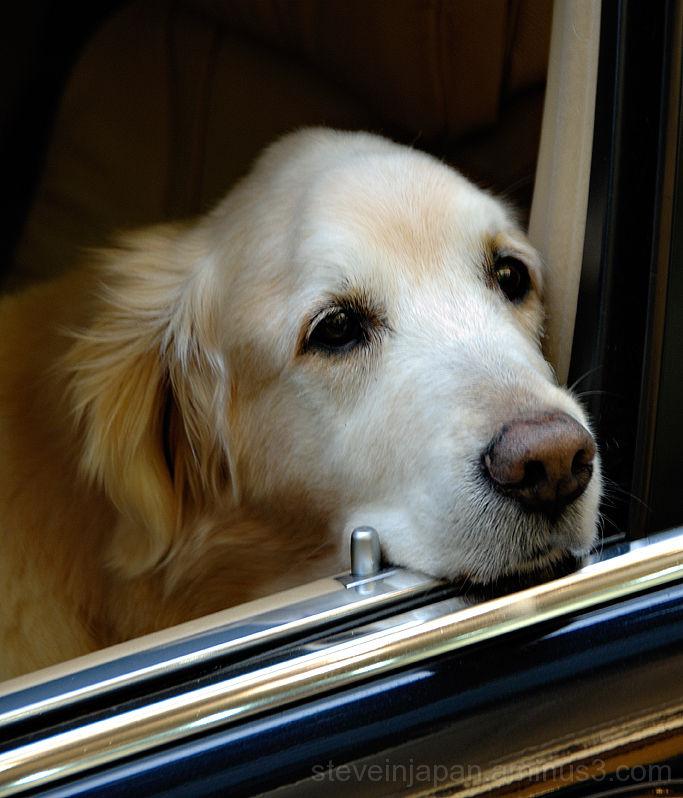 A dog waiting near the Graham Street market.
