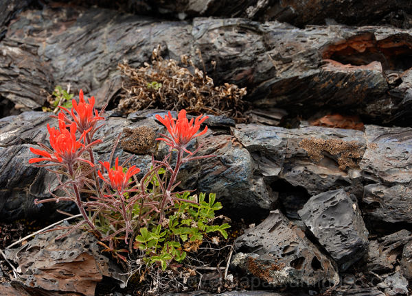 A Indian Paintbrush at Craters of the Moon.