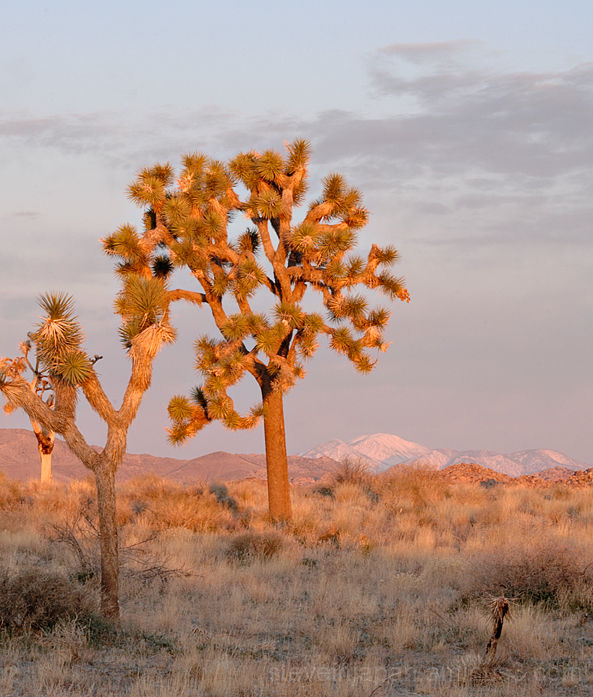 A Joshua Tree in Joshua Tree NP.