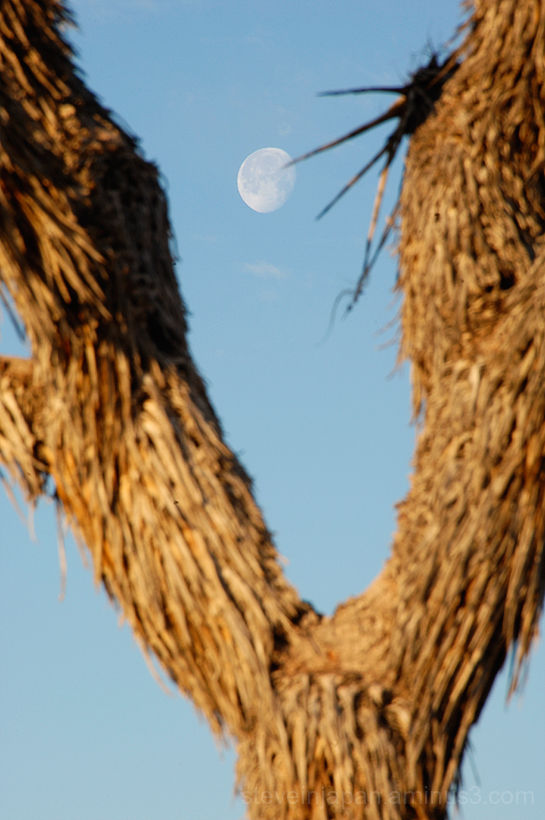 A Joshua Tree and the Moon in Joshua Tree NP.