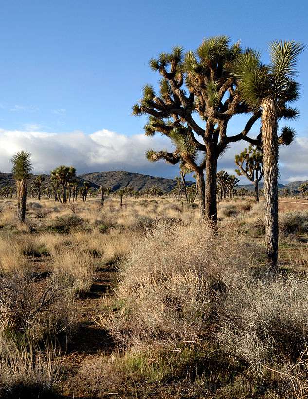 A grove of Joshua trees in Joshua Tree NP.