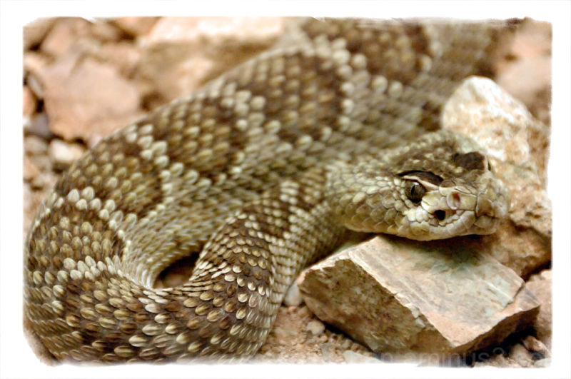A Mojave Green Rattlesnake at the Desert Museum.