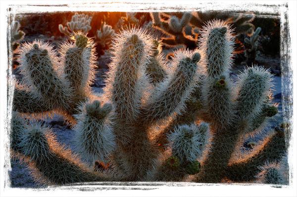 The Cholla Cactus Garden in Joshua Tree NP.